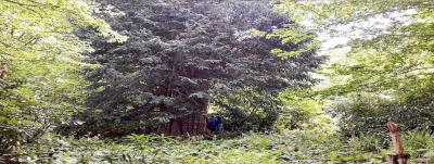 Anıt Porsuk Ağaçları